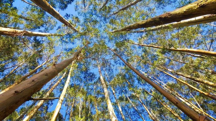 Aromaterapia con EUCALIPTUS. El eucaliptus, mucho más que un bonito adorno de Navidad